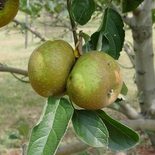 Roxbury Russet Apple Tree (<i>Malus</i> cv.)