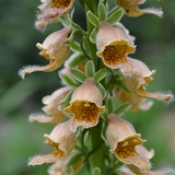 Rusty Foxglove (<i>Digitalis ferruginea</i>)