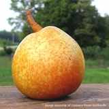 Seckel Pear (<i>Pyrus communis</i> cv.)