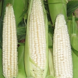 Stowell's Evergreen White Corn Seeds (<i>Zea mays variety</i>)