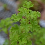 Strawberry-scented Geranium (<i>Pelargonium</i> x <i>scarboroviae</i>)
