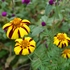 Striped French Marigold Seeds (Tagetes patula)
