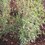 Summer Savory Seeds (<i>Satureja hortensis</i>)