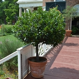 Sweet Bay Laurel (<i>Laurus nobilis</i>)