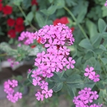 Sweet William Catchfly Seeds (<I>Silene armeria</I>)