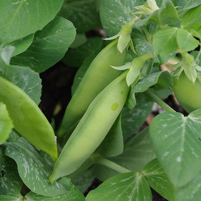 Tom Thumb Pea Seeds (Pisum sativum cv.)