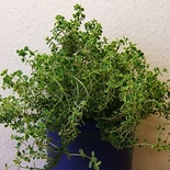 Golden Lemon Thyme (<i>Thymus</i> x <i>citriodorus</i> 'Aureus')