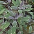 Variegated Sage (Salvia officinalis 'Tricolor')