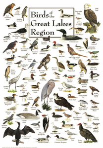 Birds of the Great Lakes Region - Click to enlarge