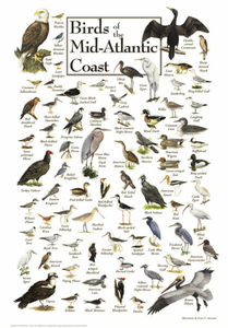Birds of the Mid-Atlantic Coast - Click to enlarge