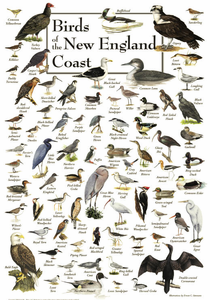 Birds of the New England Coast - Click to enlarge