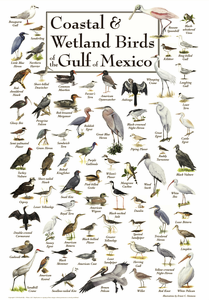 Coastal & Wetland Birds of the Gulf of Mexico - Click to enlarge