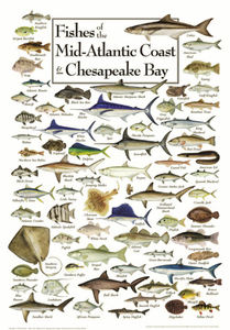 Fishes of the Mid-Atlantic & Chesapeake - Click to enlarge