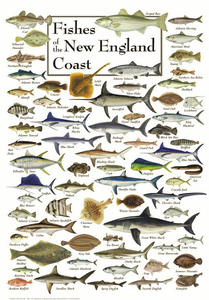 Fishes of the New England Coast - Click to enlarge