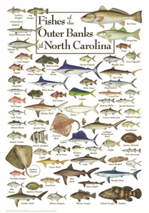 Fishes of the Outer Banks - Click to enlarge