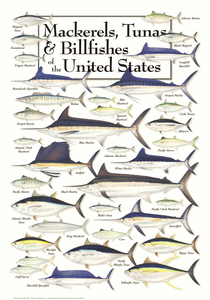 Mackerels, Tunas and Billfishes of the U.S. - Click to enlarge