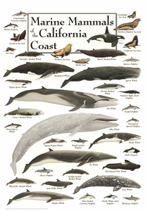 Marine Mammals of the California Coast - Click to enlarge