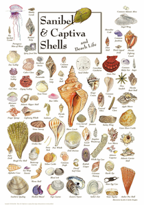 Sanibel & Captiva Shells & Beach Life Poster - Click to enlarge