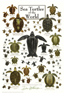 Sea Turtles of the World - Click to enlarge