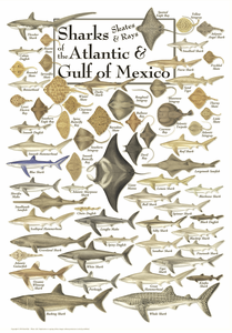 Sharks of the Atlantic & Gulf of Mexico - Click to enlarge