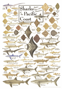Sharks of the Pacific Coast - Click to enlarge