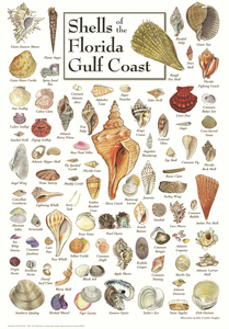 Shells of the Florida Gulf Coast - Click to enlarge