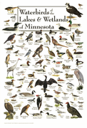 Waterbirds of the Lakes & Wetlands of Minnesota