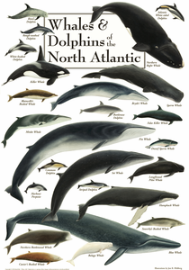 Whales & Dolphins of the North Atlantic - Click to enlarge
