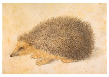 A Hedgehog Postcard