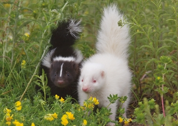 Albino Striped Skunk With a Sibling Notecard