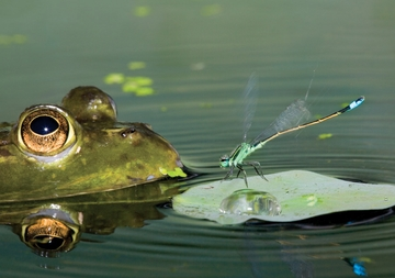 American Bullfrog and Rambur's Forktail Damselfly Notecard