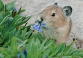 American Pika Eating Flowers Notecard