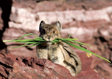 American Pika Gathering Greens Notecard