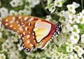 Angola White Lady Butterfly Notecard