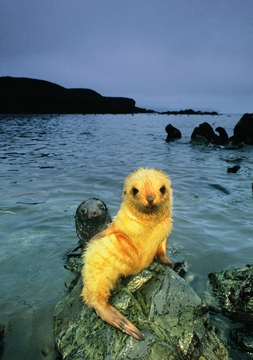 Antarctic Fur Seal Pup, Blonde Morph  Notecard