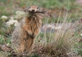 Arctic Ground Squirrel Notecard