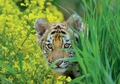 Bengal Tiger Cub in Yellow Mustard Flowers Notecard