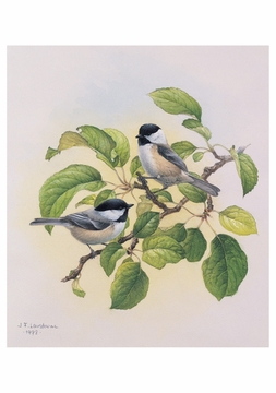 Black-Capped Chickadee Notecard