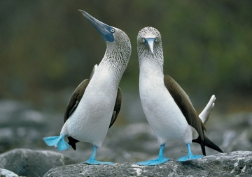 Blue-footed Boobies Notecard