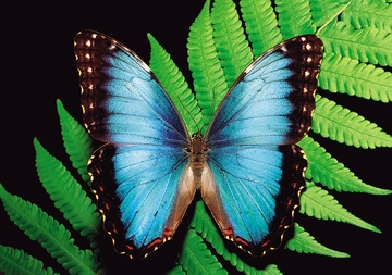 Blue Morpho Butterfly Notecard