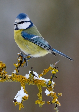 Blue Tit Perched Holiday Cards