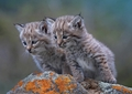 Bobcat Kittens Notecard