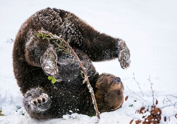 Brown Bear Playing in Snow Holiday Cards
