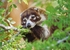 Coatimundi in a Tree Notecard