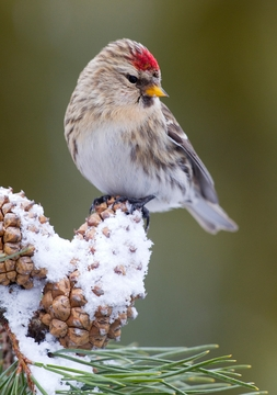 Common Redpoll Holiday Cards