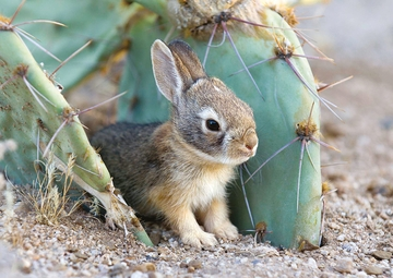 Cottontail Bunny between Prickly Pear Cactus Notecard