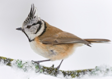 Crested Tit Holiday Cards