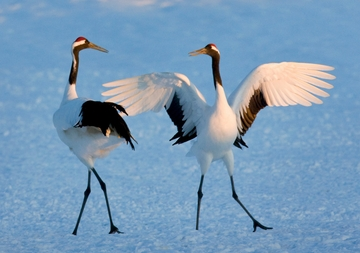 Dancing Red-Crowned Cranes Notecard