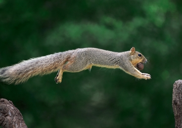 Eastern Fox Squirrel Notecard