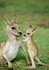 Eastern Grey Kangaroos Notecard